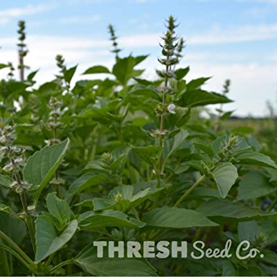 Lemon Basil - 250 Seeds : Garden & Outdoor