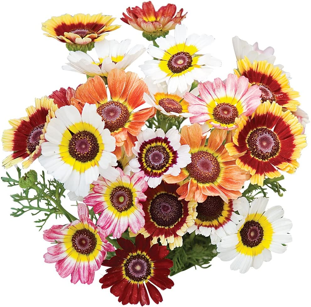 Burpee Tricolor Daisy Chrysanthemum Seeds 100 seeds