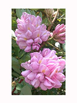 Rose Acacia Robinia Hispida Shrub Or Small Tree Fragrant Pink