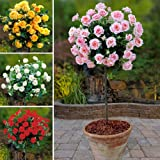 YouGarden Patio Standard Roses Collection, 4 Colours (Set of 4)
