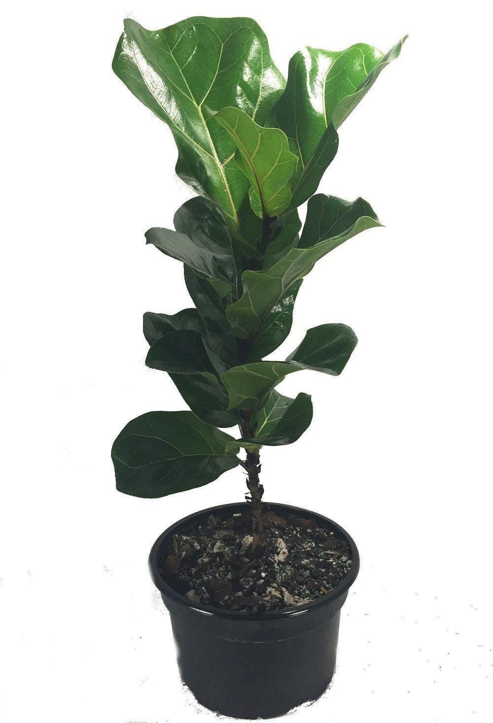 Fiddleleaf Fig Stylized Tree Shape - Ficus - Great Indoor Tree - Easy - 8'' Pot