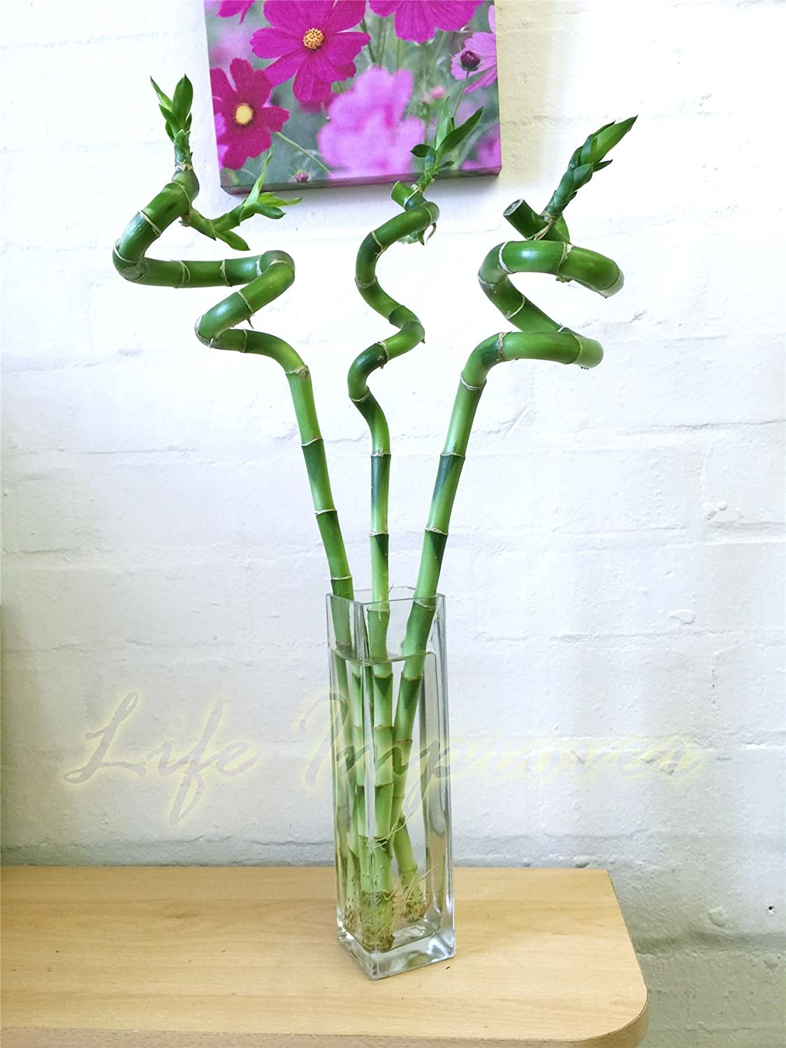 1 Spiral Straight Lucky Bamboo In Tall Glass Vase Amazoncouk