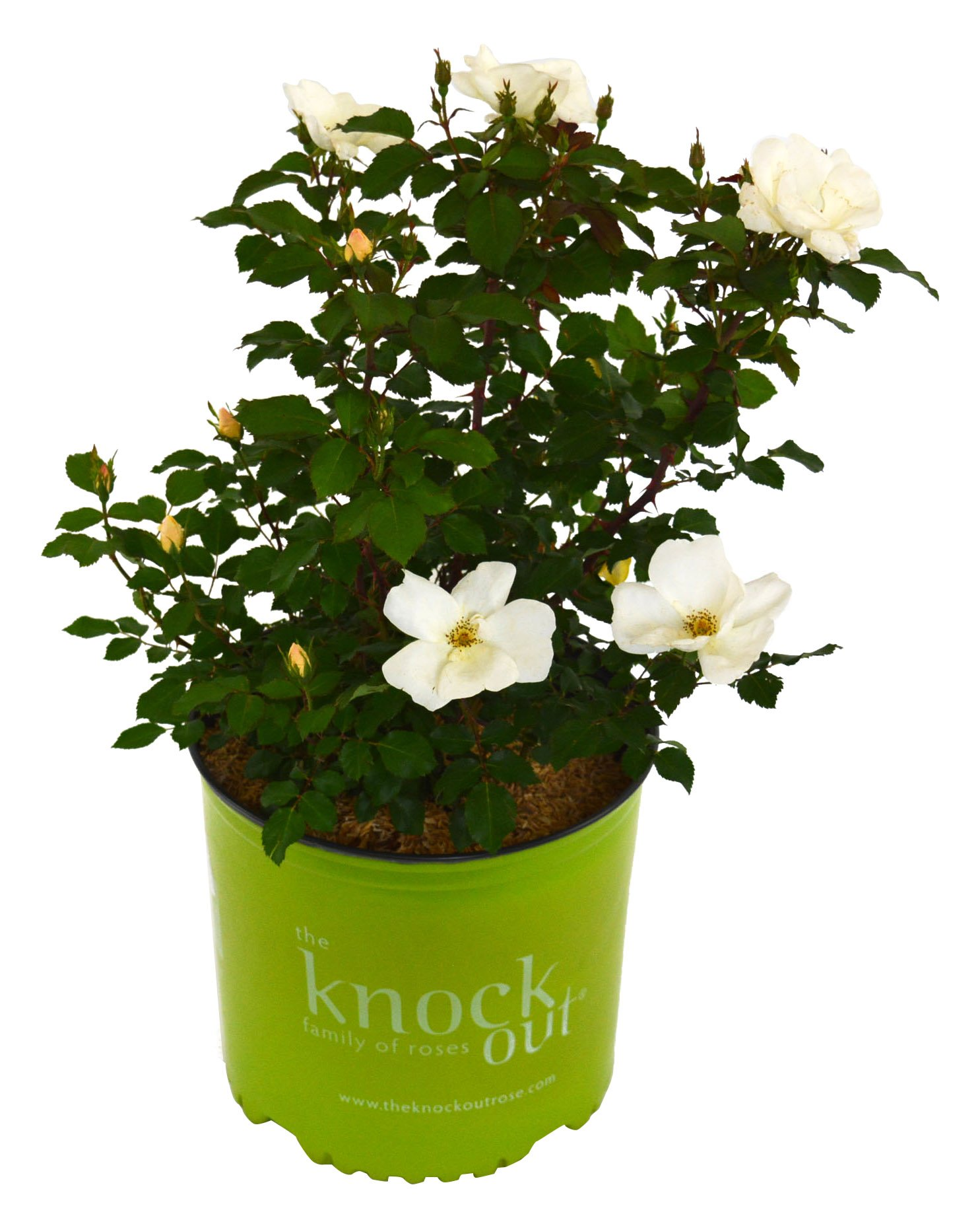 Knock Out Roses - Rosa White Knock Out (Rose) Rose, White Flowers, 3 - Size Container