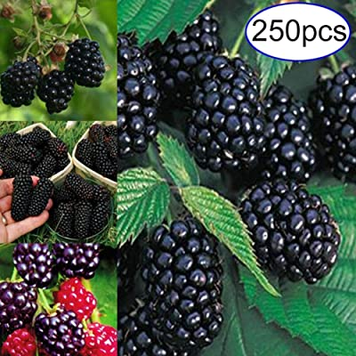 BLagenertJ Home Courtyard Gardening Vegetable Berry Seeds, Fruit Delicious Seeds to Eat, Outdoor Decor Seeds - 250 pcs Mulberry Seeds 250Pcs : Garden & Outdoor