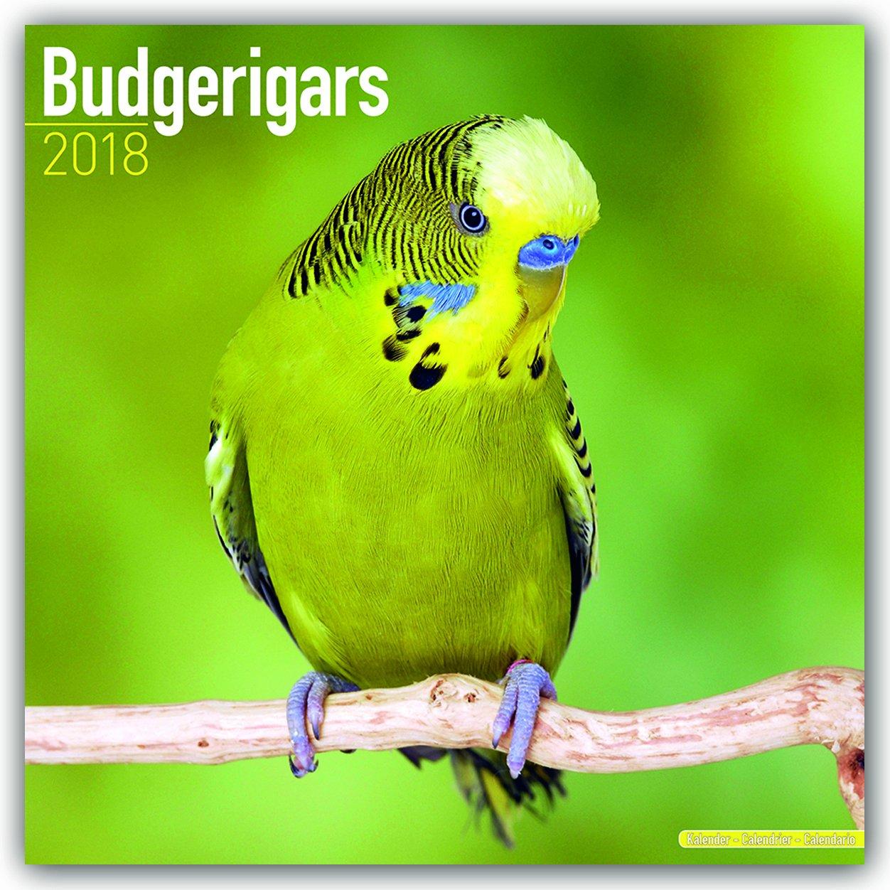 Budgerigars - Wellensittiche 2018: Original Avonside-Kalender [Mehrsprachig] [Kalender] (Wall-Kalender)