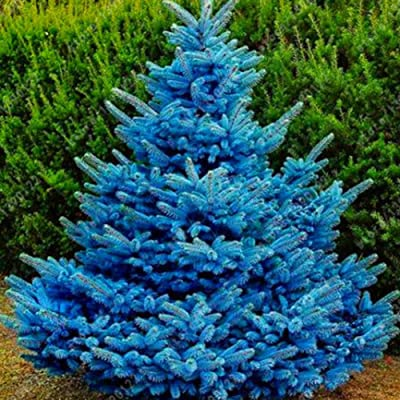 XKSIKjian's Garden 20 Pcs Sky Blue Spruce Hardy Picea Pungens Glauca Tree Seeds Ornamental Plant Home Yard Office Decor Non-GMO Seeds Open Pollinated Seeds for Planting : Garden & Outdoor