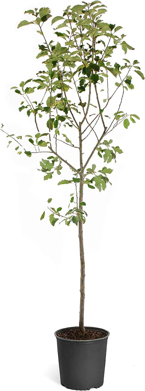 Brighter Blooms Dwarf Fuji Apple Trees (5-6 ft.)