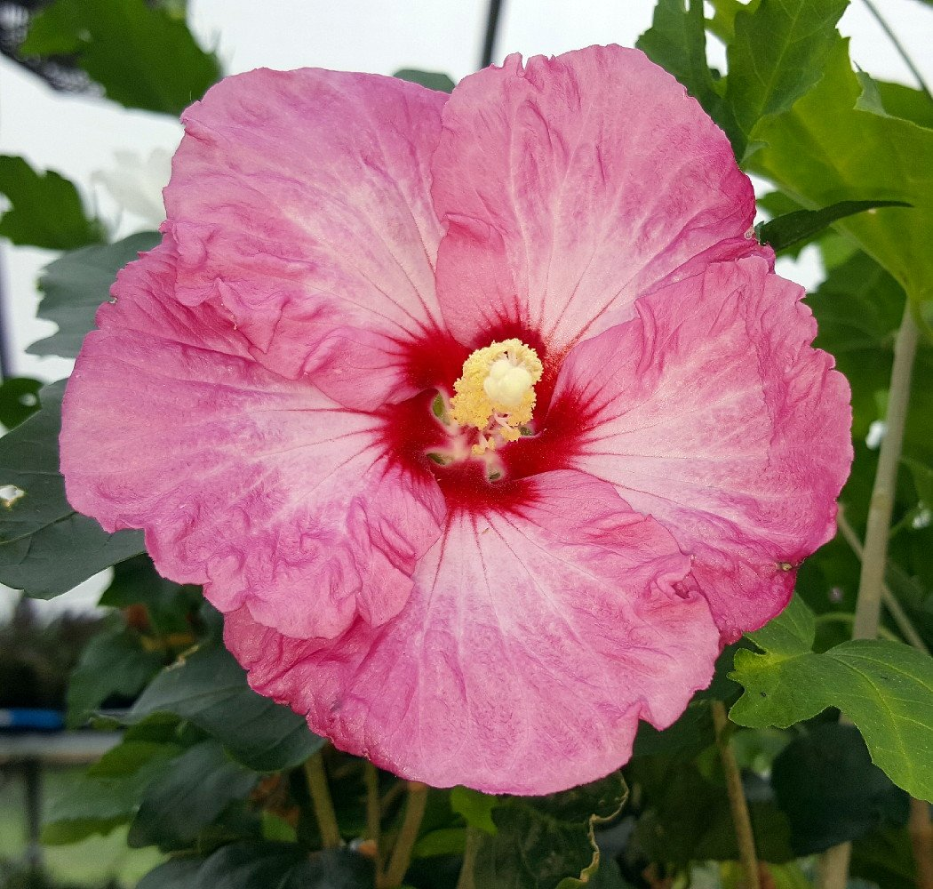 Amazon Ruffled Satin Hibiscus Tropical Lookhardy Rose Of