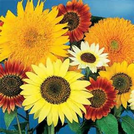 Sunflower Red Tall Sunflower Seeds X 25 Pcs