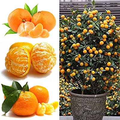 HomLand 50Pcs Orange Tree Seeds Potted Fruit Kumquat Citrus Garden Yard Decor for Garden 50pcs Orange Seeds#: Home & Kitchen