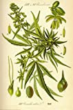 Cannibis Sativa Poster 24 x 36in with Poster Hanger