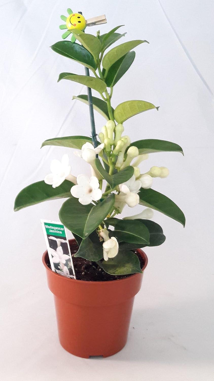 Amazon Madagascar Jasmine Plant Stephanotisbridal Wreath