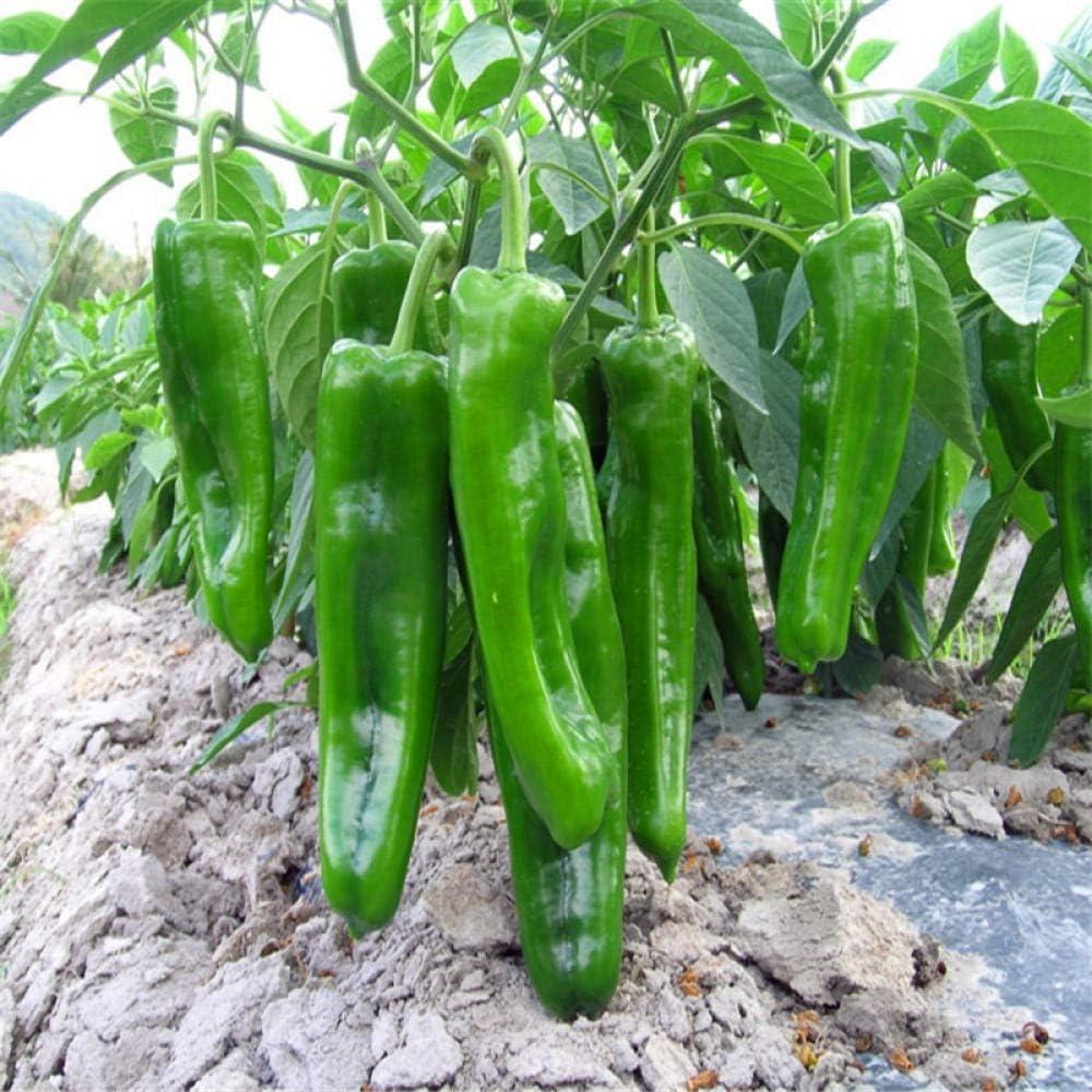 madurez temprana semillas de pimiento 500 pimientos verdes grandes frutos grandes semillas vegetales alto rendimiento extensi/ón temprana de primavera y oto/ño resistencia a enfermedades