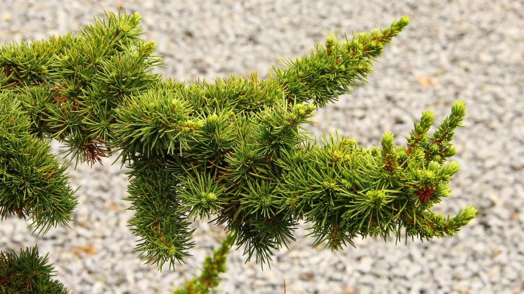 Green Prince Cedar of Lebanon - A Dwarf That Only Grows to 4 Feet Tall 1 -Year Live Plant