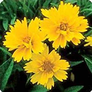Early Sunrise Coreopsis Flower Seeds - 1000 Seeds - Perennial Flower Garden Seeds - Coreopsis grandiflora