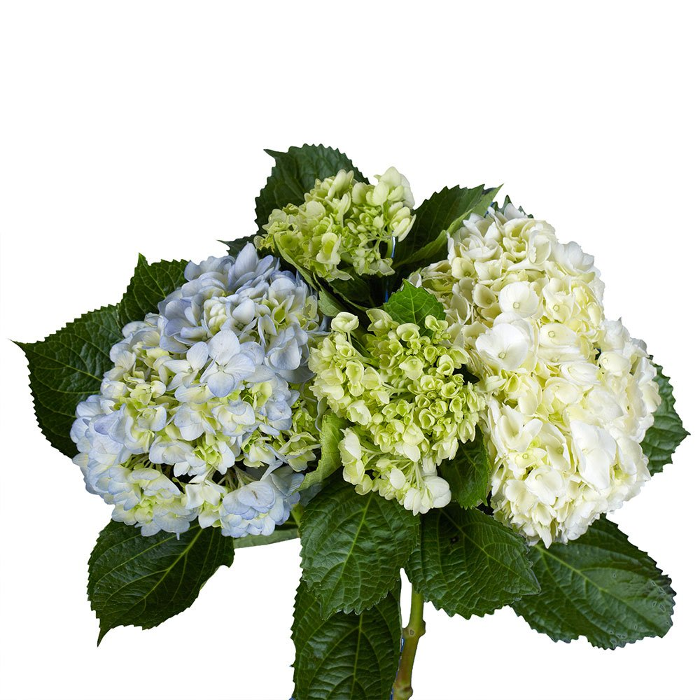 GlobalRose 20 Fresh Cut Assorted Colors Hydrangeas - Fresh Flowers For Weddings or Anniversary. by GlobalRose (Image #2)