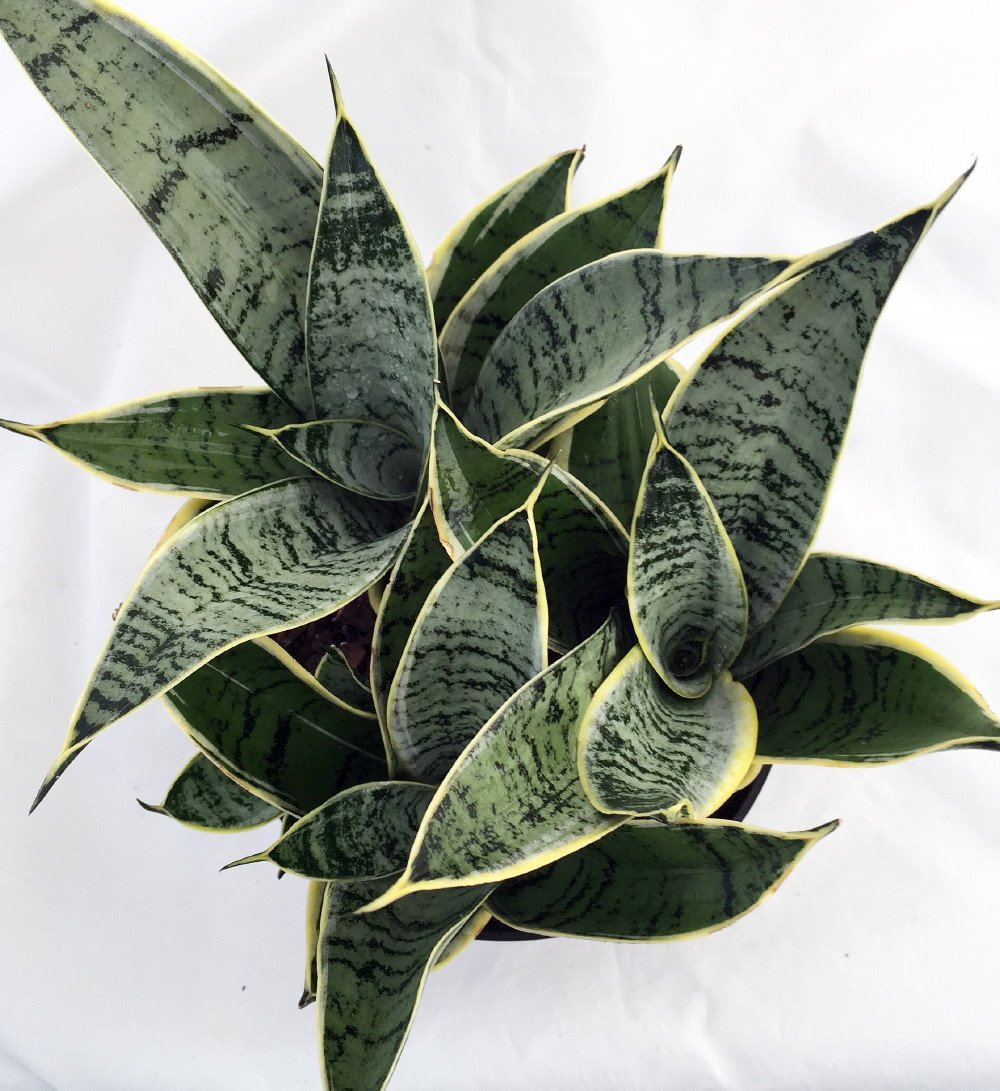 Starlite Snake Plant, Mother-In-Law's Tongue - Sanseveria - 4'' Pot