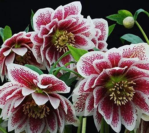 QHYDZ Garden-50pcs Rara Hellebores Flores para Invierno, Perenne ...
