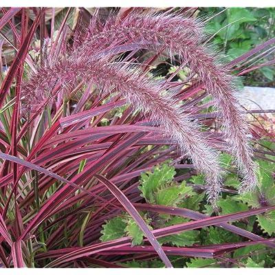 AchmadAnam - Live Plants - 10 Pennisetum 'Fireworks' Fountain Grass - Bottlebrush Plumes : Garden & Outdoor