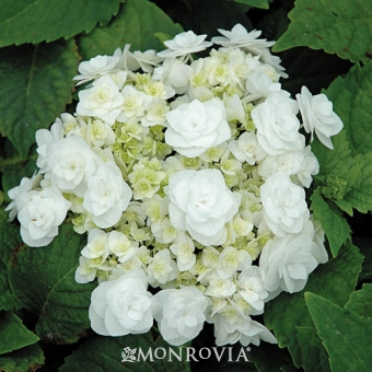 Double Delights™ Wedding Gown Hydrangea - Monrovia - Double Delights™ Wedding Gown Hydrangea
