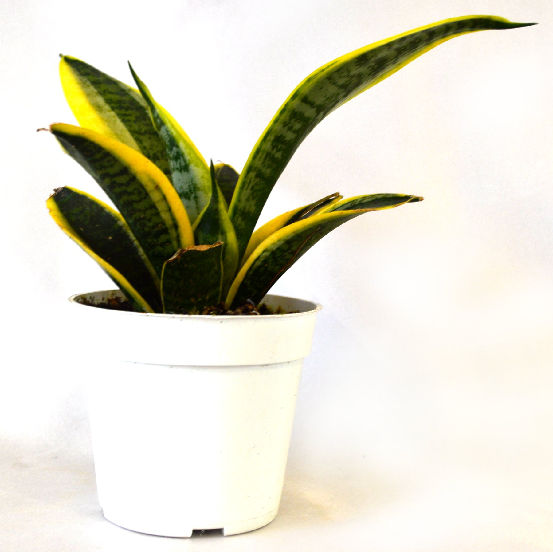 9GreenBox - Superba Robusta Snake Plant - Sanseveria - Impossible to kill! - 4'' Pot
