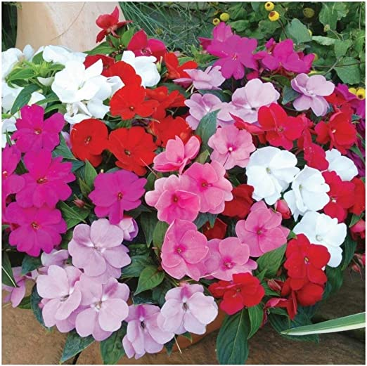 2 PACKS of BUSY LIZZIE Dwarf F2 Mixed FLOWER SEEDS