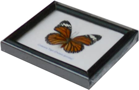 Insectfarm Framed Real Striped Blue Crow Butterfly Collectible Display Insect Taxidermy