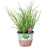 Bonnie Plants 5030 Onion Chives Herb Plant