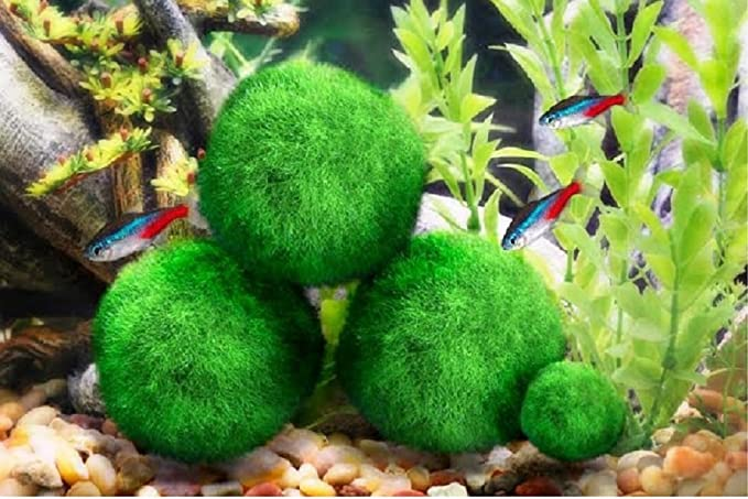 Amazon Com 4 Luffy Giant Marimo Moss Balls Aesthetically Beautiful Create Healthy Environment Low Maintenance Suit All Aquarium Sizes Shrimps Snails Love Them Pet Supplies