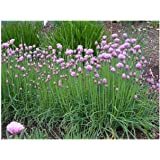 HERB CHIVES CIPOLLINA 1200 FINEST ITALIAN SEEDS