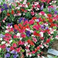 50 Seeds Annual Sweet Pea 'Knee High Mix' Sweet Peas Make Excellent Cut Flowers.