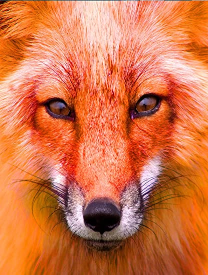 Tslook Wall Art Poster Print Canvas Prints Artwork Pictures Red Fox Animal 32x 48quot