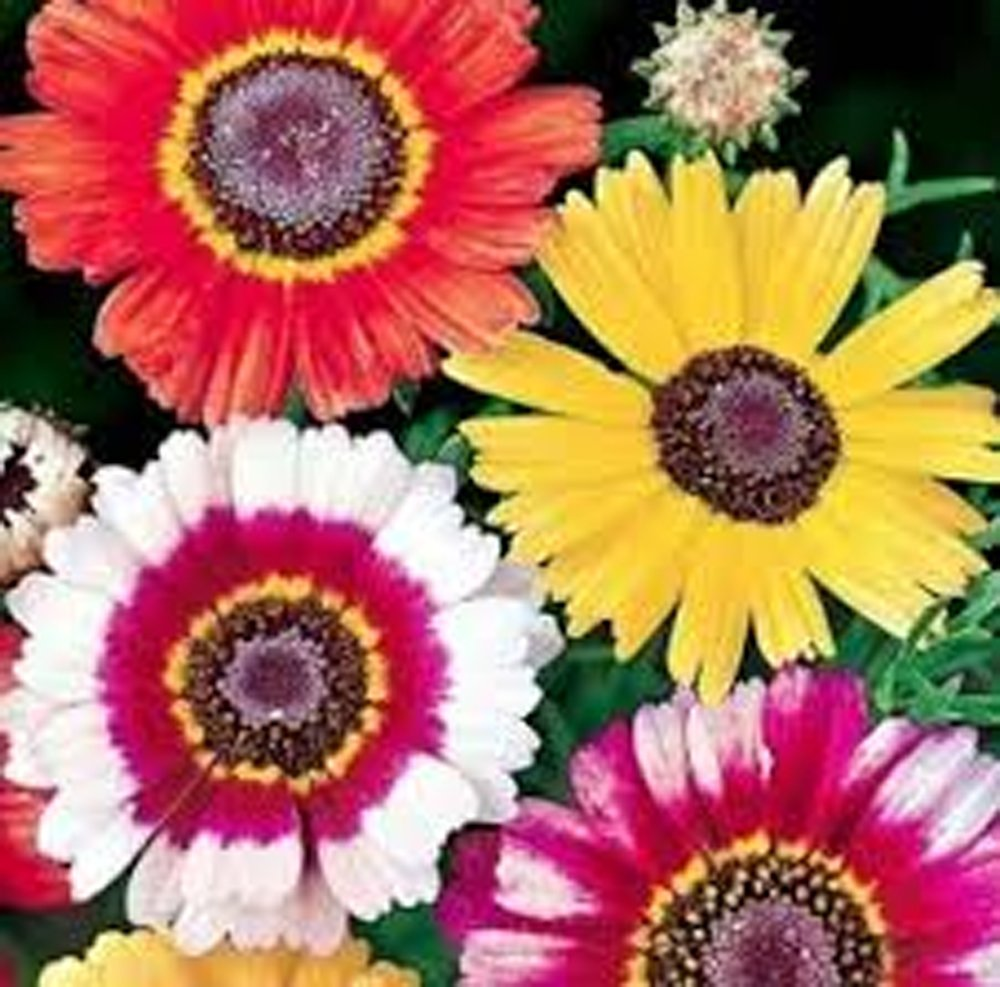Painted Daisy,organic 50+ Seeds, Beautiful Mulit Colored Blooms. Country Creek Acres
