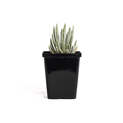 "Plants by Post Scaposus Quart Woolly Senecio 4"" Hardy Succulent Houseplant, Green : Garden & Outdoor"