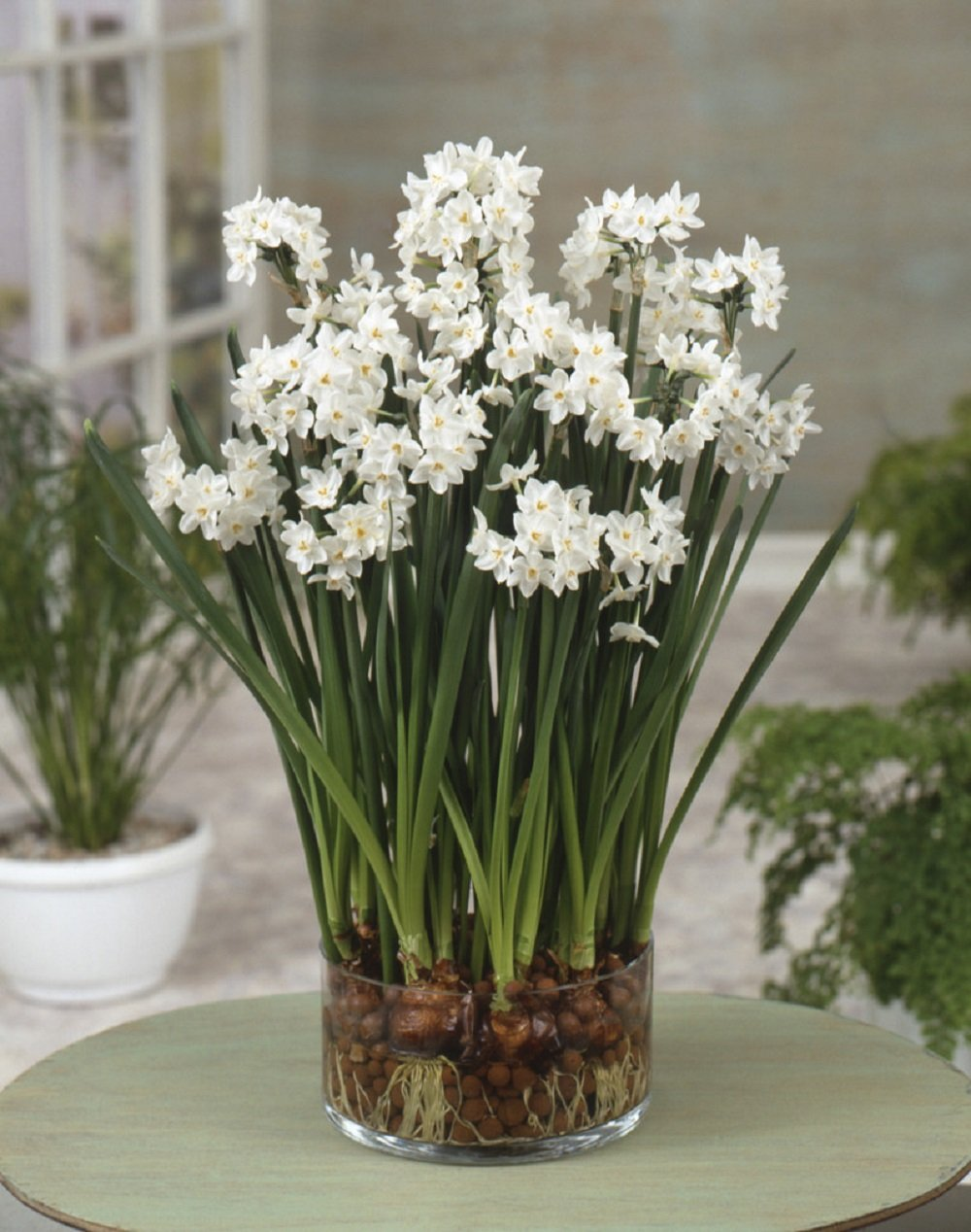 Amazon.com : 10 \'Ziva\' Paperwhites Flower Bulbs 14/15cm Bulbs ...