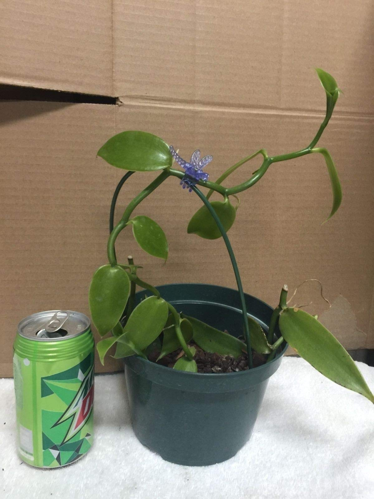 Vanilla Orchid Vine Plant! Grow Your own Vanilla. Cutting per Foot. by MW215 (Image #1)
