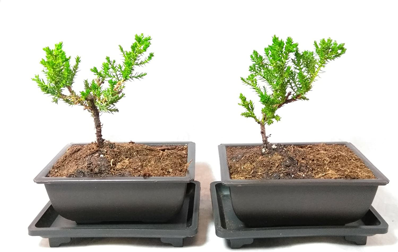 Amazon Com Two Japanese Juniper Bonsai Tree Plastic Pot With Tray 5 Long Garden Outdoor