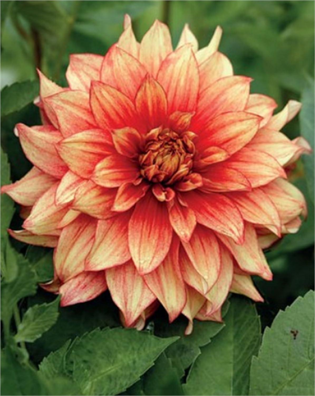 1 oder 3 Schmuck Dahlien Großblütig Dazzling Magic  Blumenzwiebeln Dahlie
