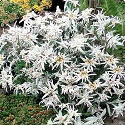 Edelweiss- Leontonpodium- 100 Seeds - - : Garden & Outdoor