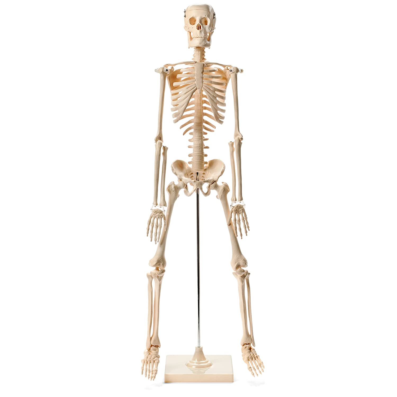 Anatomical Human Skeleton Model - 1/2 Life Sized - 85 cm with Metal Base