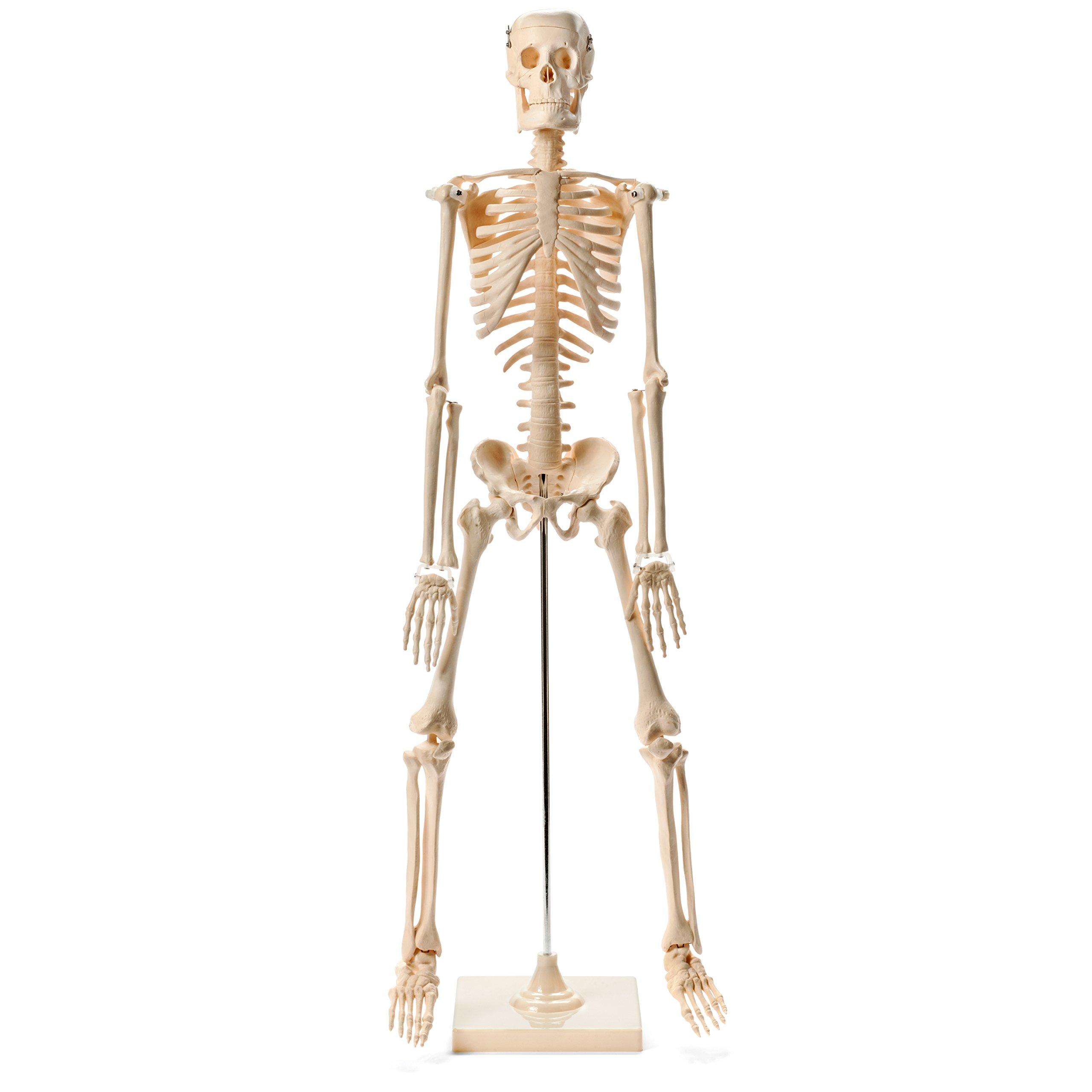 Medical Quality Human Skeleton Model - 1/2 Life Sized - 85 cm with Metal Base