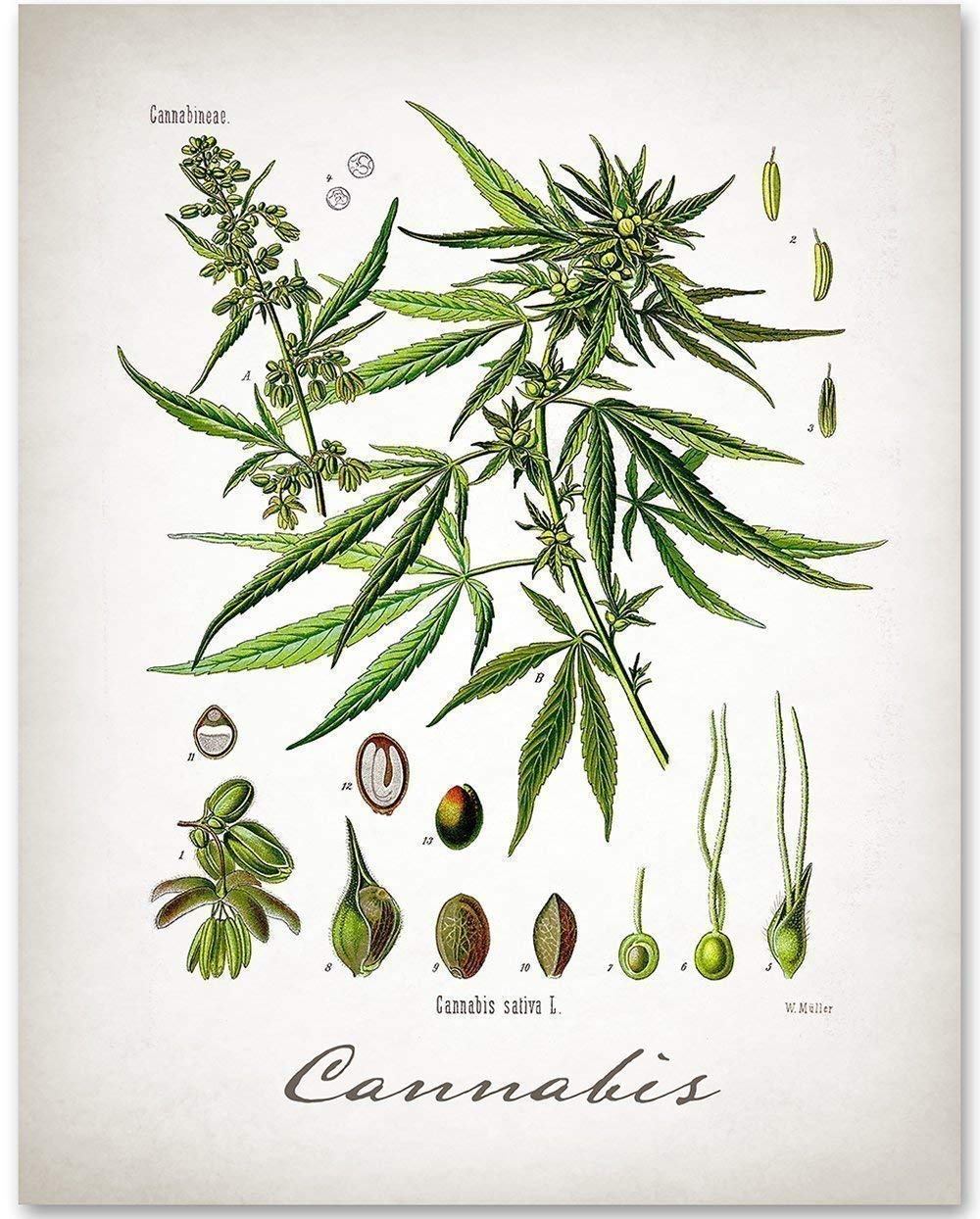 Cannabis – 11×14 Unframed Art Print – Makes a Great Gift Under $15 for Botanical Home Decor