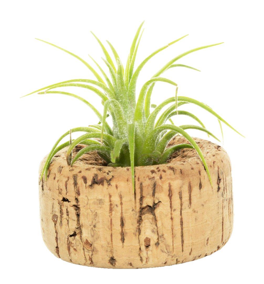 Amazon.com: Planta de aire Tillandsia de 5,08 a 3.0 in con ...