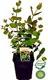 Eukalyptus gunii ca. 20-25cm, frischer Eukalyptus - Strauch, Eukalyptus Pflanze, Kräuter Pflanze