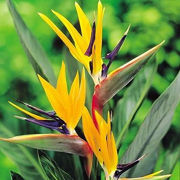 Strelitzia Plante Oiseau De Paradis 5 Plantes Amazon Fr Jardin
