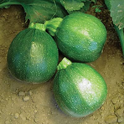 50 Seeds Heirloom Round Zucchini Summer Squash Eight Ball : Garden & Outdoor
