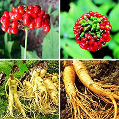 Panax Ginseng Seeds for Yard Gardening Plant, 50 Pcs Asian Chinese/Korean Panax Ginseng Seeds Fresh for Planting Nutrition by Mosichi : Garden & Outdoor