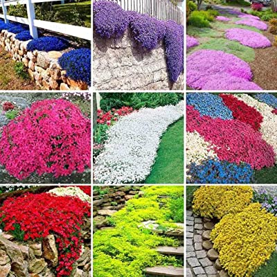 100pcs/Bag Rock Cress Seeds Garden Decoration Ground Cover Flower Seeds : Garden & Outdoor
