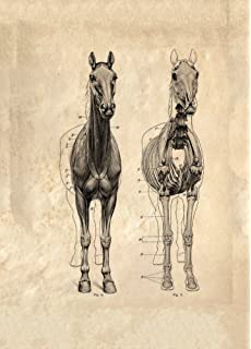 Vintage Anatomy HORSE MUSCLES SIDE VIEW from The Anatomy of the ...