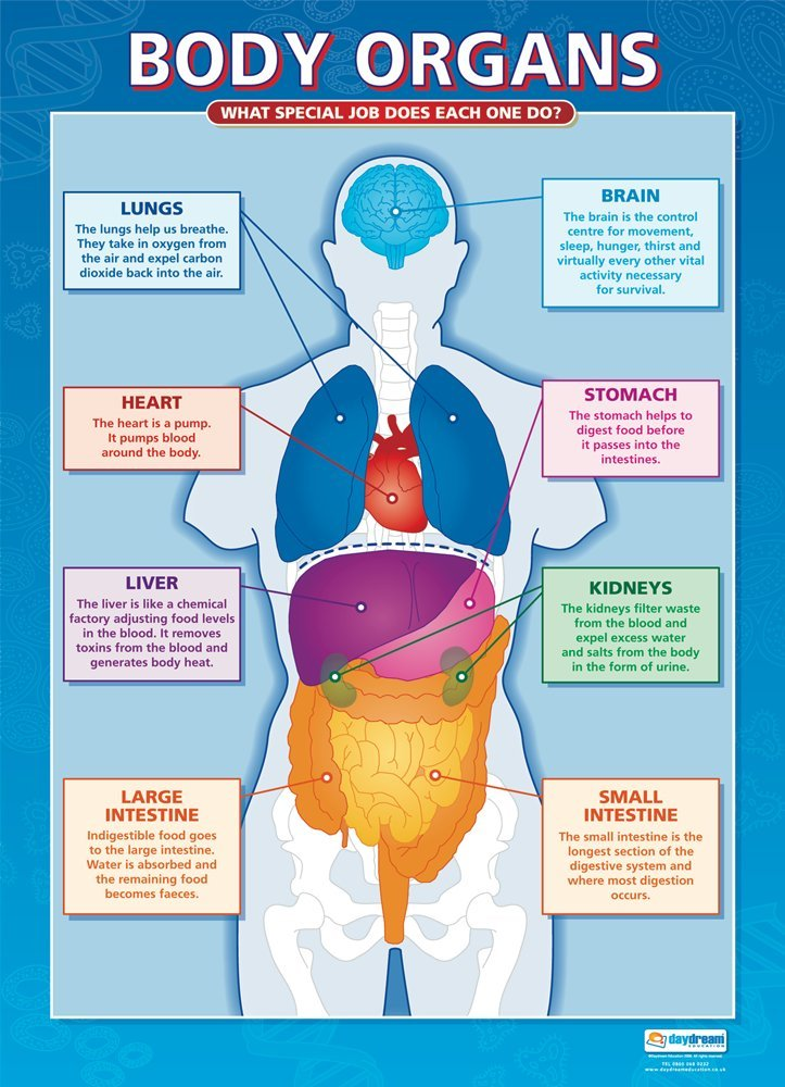 Amazon Body Organs Science Posters Gloss Paper Measuring 33